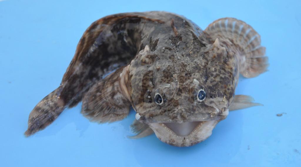 toad fish - photo #27