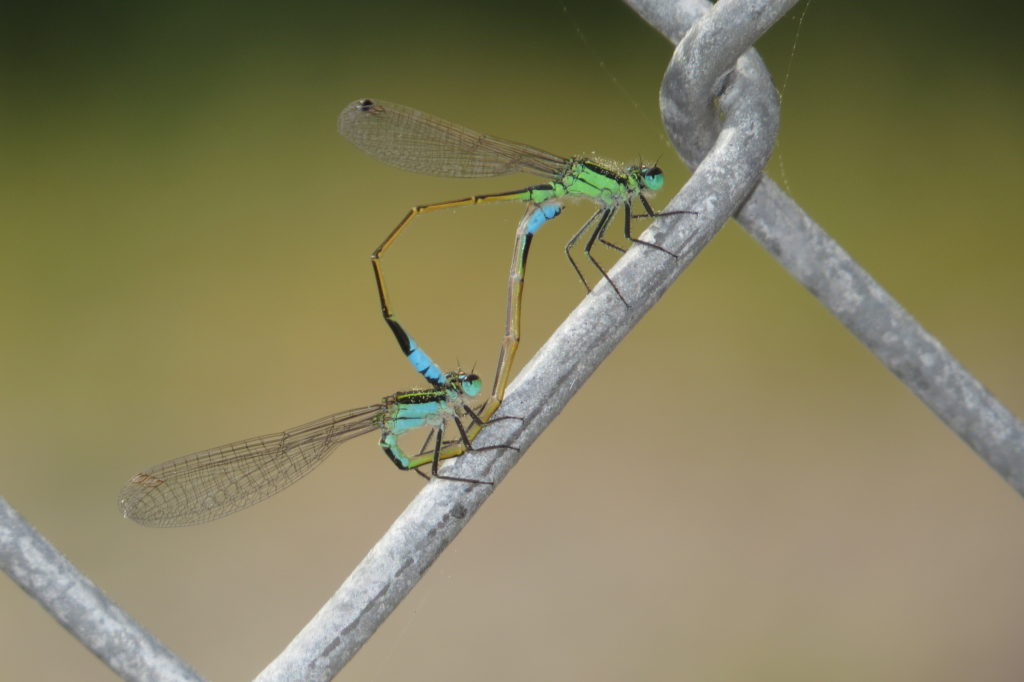Male Nominate, Female Blue Male-Like; Photo by Liam Wolff