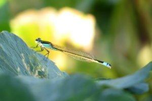 Rambur's Female Green Male-like; Photo by Liam Wolff