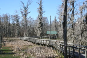 Spanish moss on Bald Cypress trees, Floodplain Boardwalk