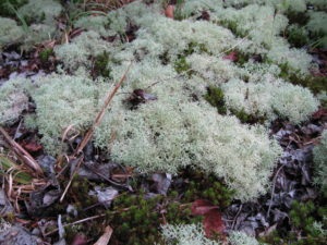 Reindeer moss, a fruticose lichen, on the ground near the Beaver Dam Trail.