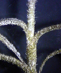 Trichomes on a strand of Spanish moss, which help the plant absorb and retain water. Source: www.clemson.edu/extension/horticulture