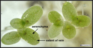 Duckweed aerenchyma: A microscopic image of duckweed leaves showing the aerenchyma (air spaces) between its tissues that allow it to stay afloat. Source: www.waynesword.palomar.edu