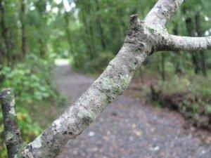 Crustose lichen on a tree branch, Beaver Dam Trail.