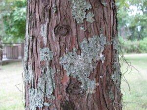 Foliose lichen on a cypress tree, Phinizy Center campus.