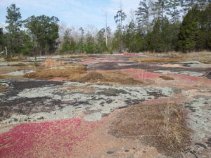 Brightly colored lichens cover the ground at Heggie's Rock Preserve in Appling, GA.